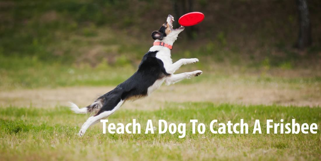 How To Teach A Dog To Catch A Frisbee